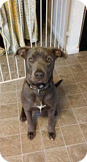 Labrador Retriever/Pit Bull Terrier Mix Dog for adoption in Lodi, California - Remi