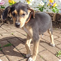 Adopt A Pet :: Madeline - West Chicago, IL
