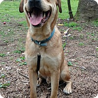 Golden Retriever Mix Dog for adoption in Capon Bridge, West Virginia - Chewy