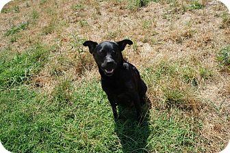 Labrador Retriever/Pug Mix Dog for adoption in Fort Worth, Texas - Padme
