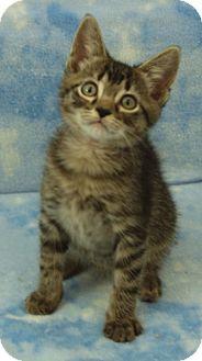 Domestic Shorthair Kitten for adoption in Elkhorn, Wisconsin - Christian