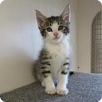 Adopt A Pet :: Wild Rice - Hillside, IL