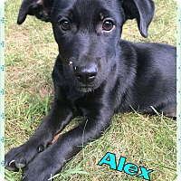 Adopt A Pet :: Alex - bridgeport, CT