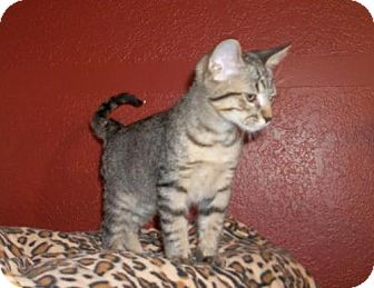 Domestic Shorthair Kitten for adoption in Lacon, Illinois - Rodney