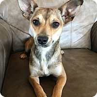Chihuahua Mix Dog for adoption in Fredericksburg, Texas - Carmel