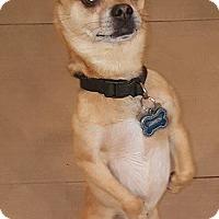 Adopt A Pet :: Chingon - Valencia, CA