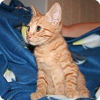 Domestic Shorthair Kitten for adoption in Tampa, Florida - Duke