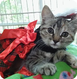 Domestic Shorthair Kitten for adoption in Witter, Arkansas - Holly (3-month girl)
