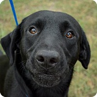 Labrador Retriever Dog for adoption in Bryan, Texas - CAPTAIN