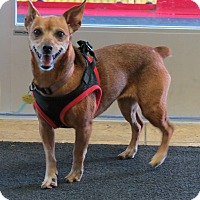 Miniature Pinscher Mix Dog for adoption in Marble Falls, Texas - Lucy