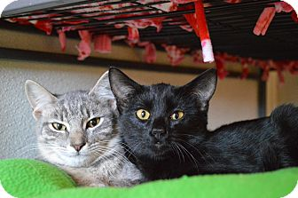 Domestic Shorthair Kitten for adoption in St. Charles, Missouri - Fuji