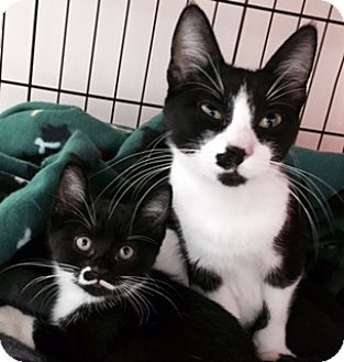 Domestic Shorthair Cat for adoption in Walled Lake, Michigan - Bryony