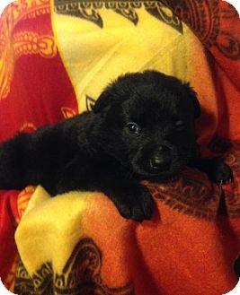 Shepherd (Unknown Type)/Bearded Collie Mix Puppy for adoption in Colton, California - MOLLYS 7 - 4