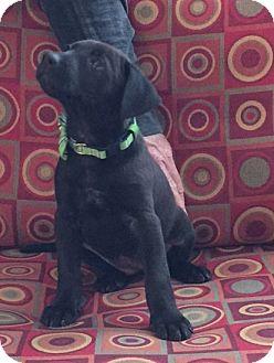 Chow Chow/Labrador Retriever Mix Puppy for adoption in Powder Springs, Georgia - Grace