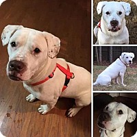American Bulldog Mix Dog for adoption in Jefferson, Georgia - Rex