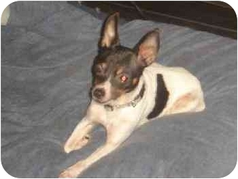 Rat Terrier Dog for adoption in Versailles, Ohio - Goodbye Little One