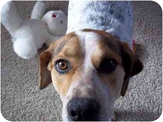Pointer/Beagle Mix Dog for adoption in Milwaukee, Wisconsin - Hunter