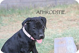 Labrador Retriever Mix Puppy for adoption in Phoenix, Arizona - Aphrodite