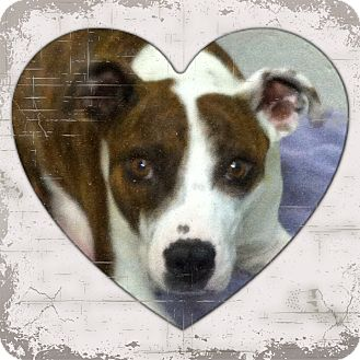 Boxer/Border Collie Mix Dog for adoption in Yerington, Nevada - Missy