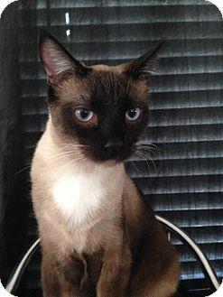 Siamese Cat for adoption in Del Rio, Texas - Lex