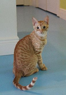 Domestic Shorthair Kitten for adoption in Thibodaux, Louisiana - Nala