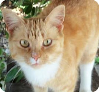 Domestic Shorthair Cat for adoption in Salisbury, North Carolina - Sassy