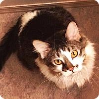 Adopt A Pet :: Rhett Butler - Bentonville, AR