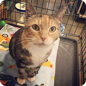 American Shorthair Cat for adoption in Raleigh, North Carolina - Granny Ella