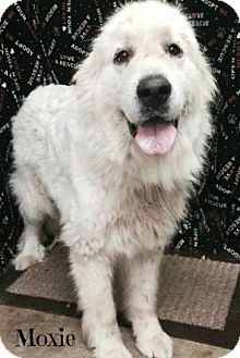 Great Pyrenees Dog for adoption in Rockaway, New Jersey - Moxie KY