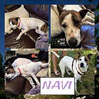 American Staffordshire Terrier Mix Dog for adoption in Whitestone, New York - Neva (Katie)