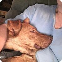 Adopt A Pet :: Briggan - Portland, ME