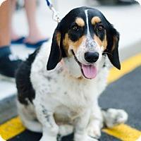 Adopt A Pet :: Sheena - Sparta, NJ
