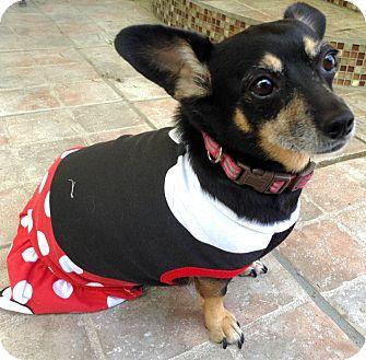 Miniature Pinscher/Dachshund Mix Dog for adoption in Santa Ana, California - Duckee (BH)