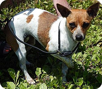 Chihuahua Mix Dog for adoption in Niagara Falls, New York - Tammy(9 lb) Sweetheart!