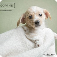 Adopt A Pet :: Prince - Chandler, AZ