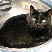 Domestic Shorthair Cat for adoption in West Des Moines, Iowa - Darth