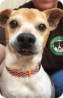 Jack Russell Terrier Mix Dog for adoption in Houston, Texas - Bud