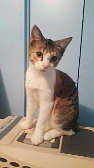 Domestic Mediumhair Kitten for adoption in Livonia, Michigan - Sabrina
