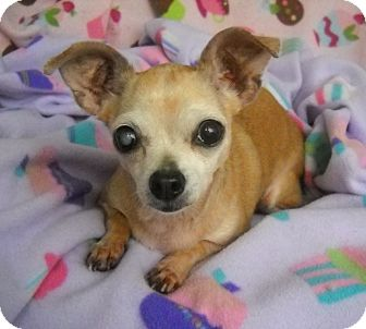 Chihuahua Dog for adoption in Palm Coast, Florida - RYLEE