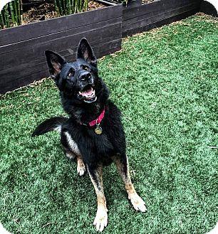 German Shepherd Dog Dog for adoption in Alameda, California - Simone
