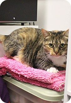 Domestic Shorthair Cat for adoption in Chesapeake, Virginia - Moonbeam