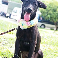 Shepherd (Unknown Type)/Labrador Retriever Mix Puppy for adoption in Castro Valley, California - Paulin