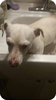Jack Russell Terrier Mix Dog for adoption in Red Lion, Pennsylvania - MAIZEY