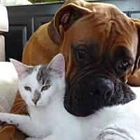 Adopt A Pet :: Mr. Cuddlepuss - San Jose, CA