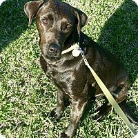 Adopt A Pet :: Maggie Mae - Austin, TX