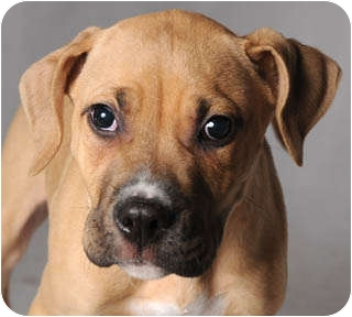 Boxer/American Bulldog Mix Puppy for adoption in Chicago, Illinois - Marcilene
