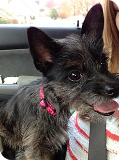 Schnauzer (Miniature) Mix Puppy for adoption in Lebanon, Maine - Polly Pocket