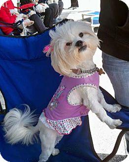 Lhasa Apso/Shih Tzu Mix Dog for adoption in Los Angeles, California - TEDI