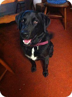Newfoundland/Labrador Retriever Mix Dog for adoption in Tunbridge, Vermont - Valentina