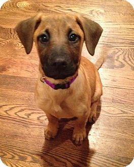 Cookie | Adopted Puppy | Media, PA | Rhodesian Ridgeback ... Rhodesian Ridgeback Lab Boxer Mix